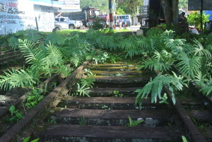 Ferns on the old railway tracks in Turrialba Center