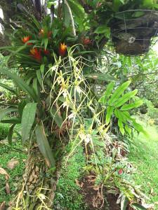 Guitite tree hosting epifytes